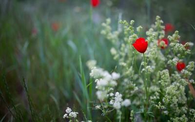 Fleur | Coquelicot